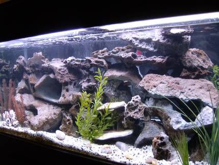 cichlids.com: Tank examples: african cichlid tank