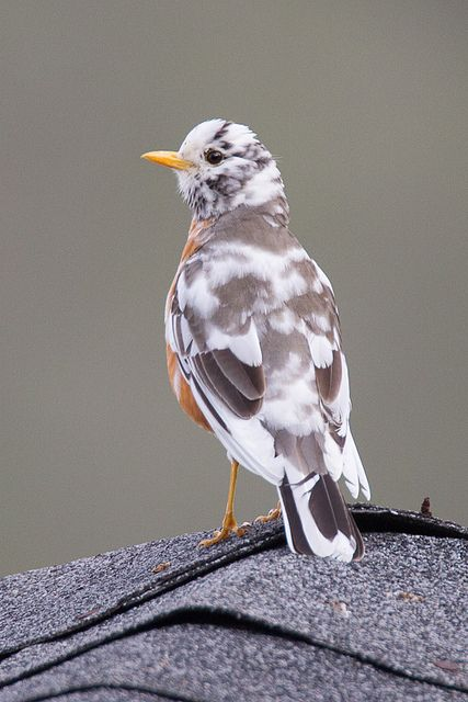 American Robin (leucistic) - (Leucism is a condition that affects birds' feathers and turns them pale or white.)