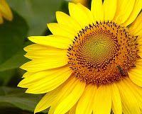 Girasol: El el mito griego, Clita se convierte en esta flor veneradora del sol, como consecuencia de su amor ciego por Apolo: por esta razón, la flor se asocia con la pasión.