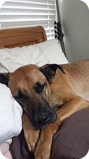Rochester Hills, MI - Great Dane/German Shepherd Dog Mix. Meet Gambit a Dog for Adoption.