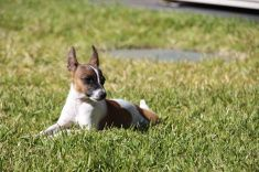 Tenterfield Terrer, Miniature Fox Terrier,  Rat Terrier stock photo