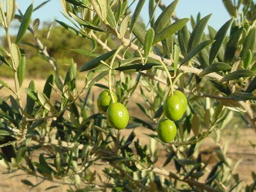 frantoio olive trees - Google Search