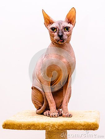 Sphynx cat breed on pet shop stand, tongue out of mouth, isolated white background.