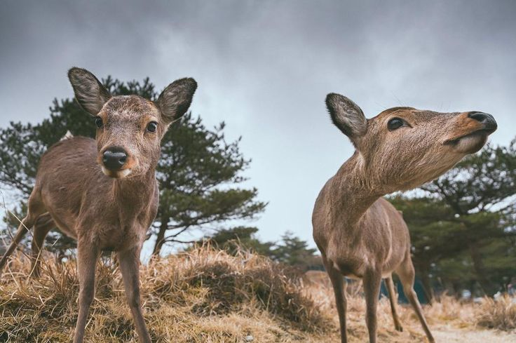 A curious couple I met up in the mountains of Kirishima Kyushu. I learnt if you don't look wild animals directly in the eyes you can approach them slowly little by little and most of the time they'll let you get quite close. But as soon as you look at them directly in the eyes -- Poof!  They'll be gone!  Great tip for photographing timid creatures like these!  #canonjapan #natgeoyourshot #deer