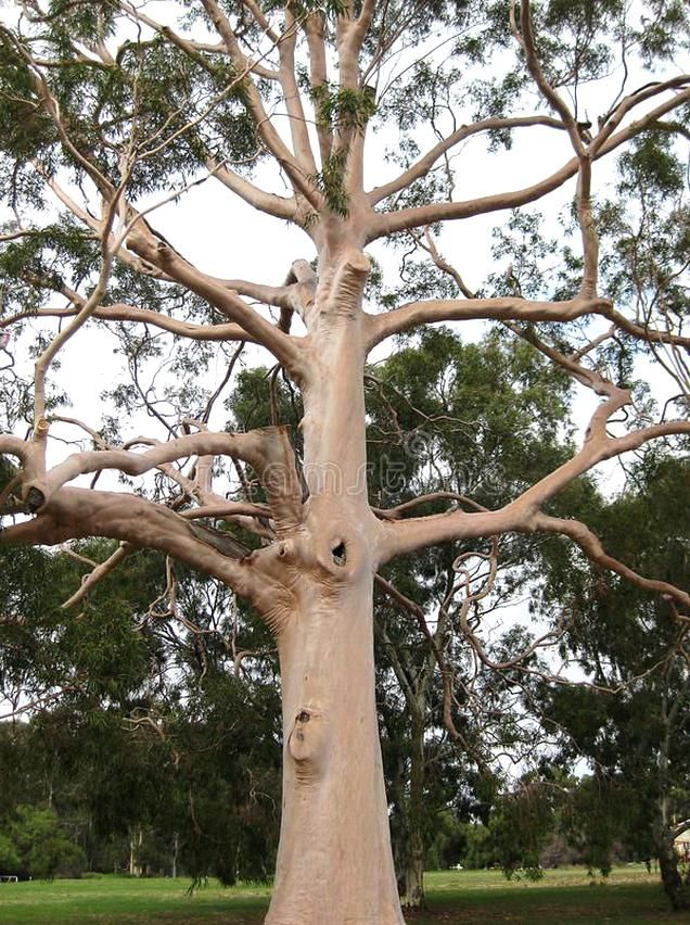 Eucalyptus Gum Tree Beautiful Old Eucalyptus Tree With Many Character Branches Aff Beautiful Eucalyptus Tree Eucalypt In 2020 Tree Beautiful Tree Eucalyptus Tree