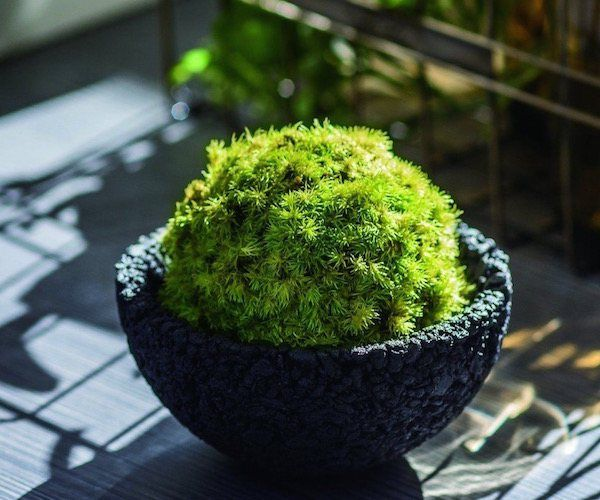 Moss ball pot gardens flowers garden and plants for Typical japanese garden plants