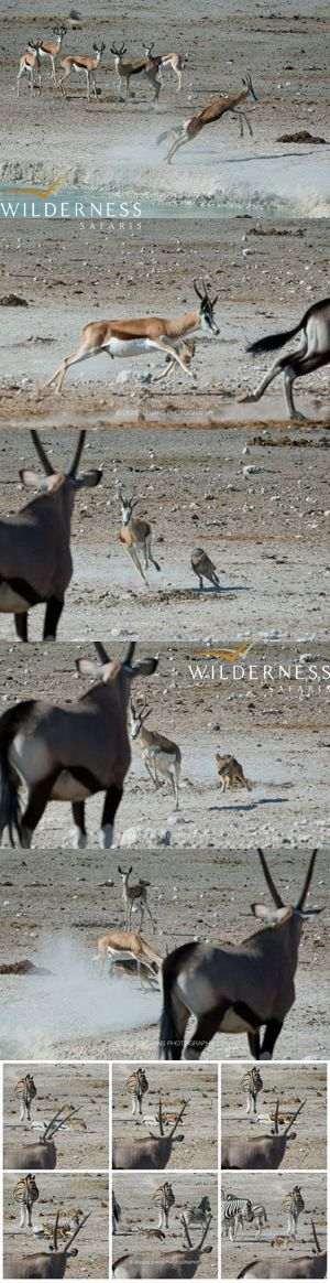 We Are Wilderness - A lone black backed jackal at Nebrowni waterhole in Etosha, attacks and persues an adult springbuck for approx. 6 minutes. A short while later he tries his luck with a sleeping zebra! Any thoughts on whether this could be rabies? Large groups of jackal kill springbuck daily at Gemsbokvlakte, but a single jackal? Click on the image for the full story.