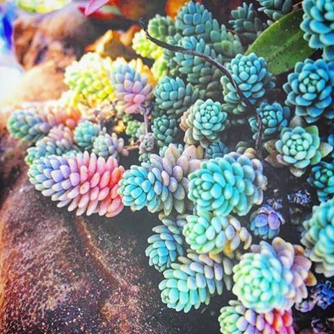"262 Likes, 10 Comments - L U N A L O T U S (@lunalotusco) on Instagram: ""RAINBOW LISA FRANK SUCCULENTS! So amazing thank you @aliciacoraljewels for the #mondaymotivation…"""