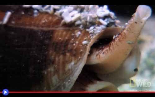 La letale proboscide della conchiglia a cono Ci sono molti tipi di morte, ad attendere il bagnante sfortunato che decida un giorno di lasciare la prudenza a riva. Squali, grouper, barracuda. Meduse, murene, razze con il rostro penetrante. Oppur #aimali #molluschi #mare #oceano