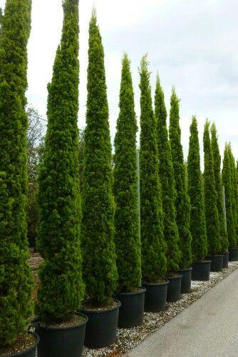 Cupressus Sempervirens Street Trees Lands