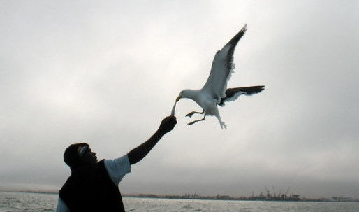Seagull grabbing fish out of man's hand