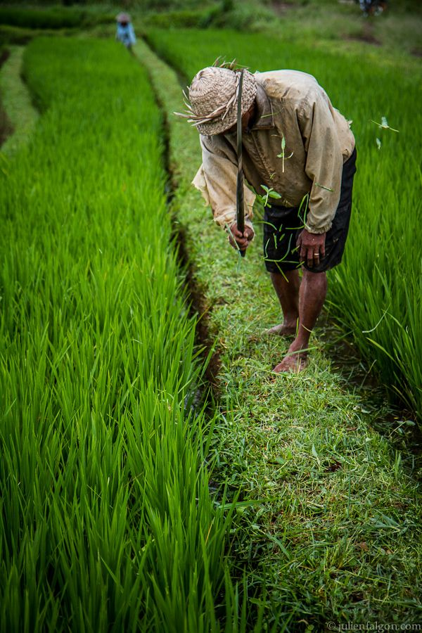 Bali worker in the field