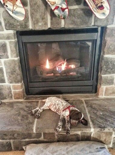 My GSP Shay does this. Sometimes it's a fight to build the fire as she won't get out of the way. Very impatient.