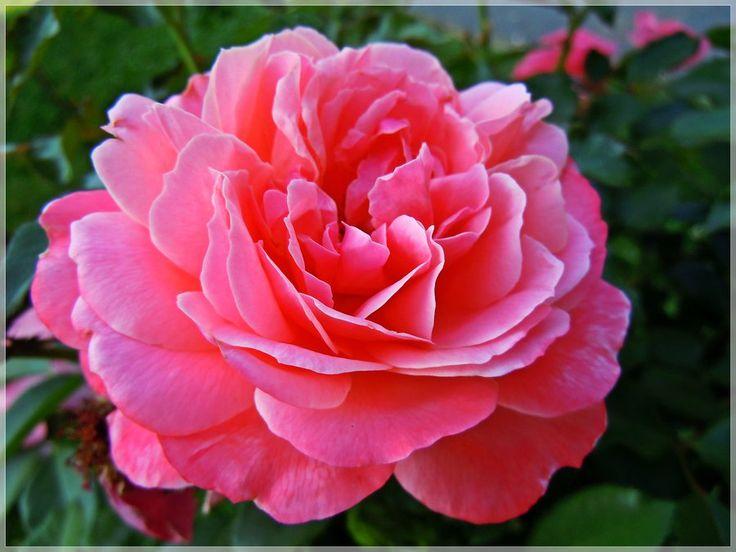 A rose for Mihaela by VasiDgallery.deviantart.com on @deviantART