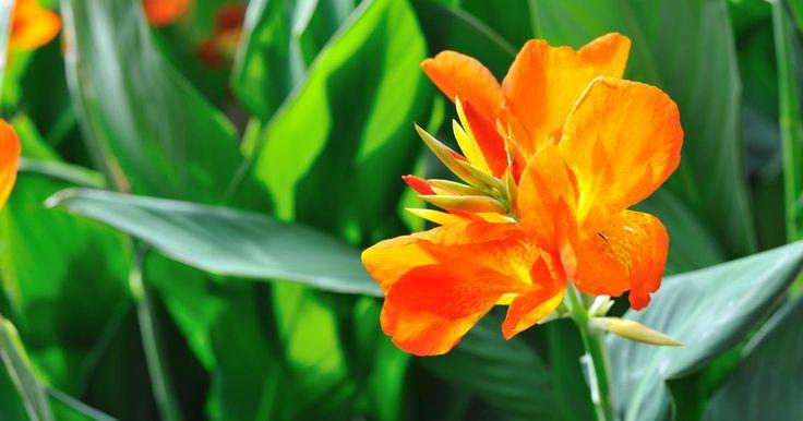 Das Indische Blumenrohr sorgt mit imposanten Blüten in prächtigen Farben von Juni bis Oktober im Beet und auf der Terrasse für Tropenflair.