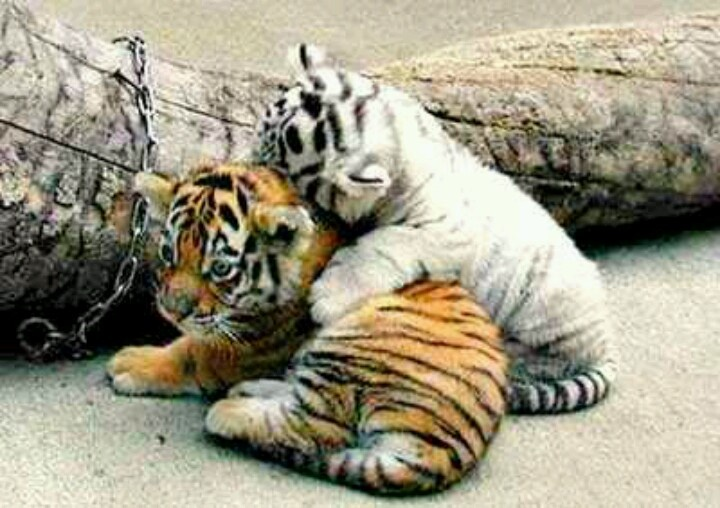 1000+ images about White tigers on Pinterest