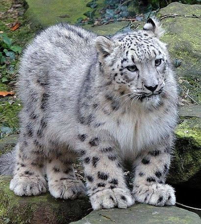 Snow Leopards are adorable!