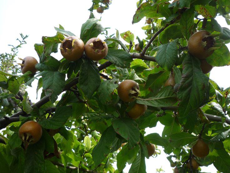 Valószínűleg rövid szezonja és nehéz tárolhatósága miatt kevéssé ültetett gyümölcsünk a naspolya, pedig már Theofrasztosz ókori görög filozófus (ie. 372-287) növényleírásaiban is szerepel. Mintegy 3000 éve termesztik. http://kertlap.hu/naspolya/