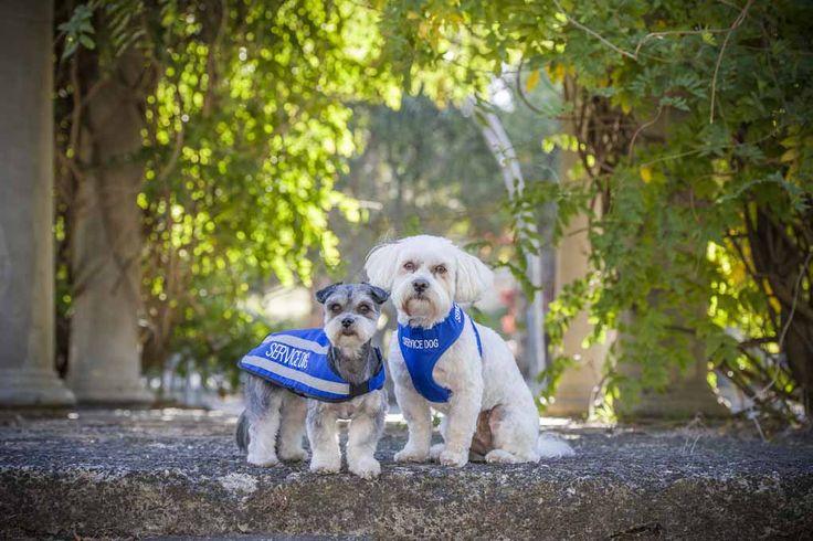 Blue SERVICE DOG reflective waterproof dog coat, vest harness   Model: Terriers