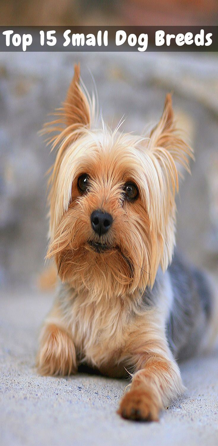 Top 15 Small Dog Breeds Choosing The Right Dog For You Yorkshire Terrier Dog Yorkshire Terrier Puppies Toy Dog Breeds