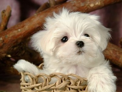 Maltese puppy - nothing sweeter