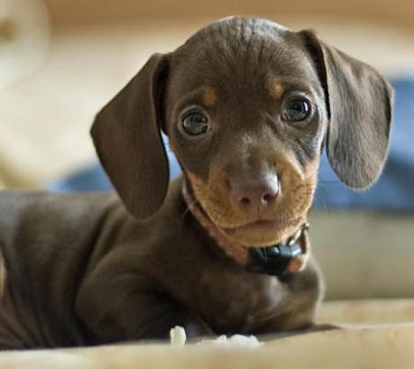 daschund. Can't wait to get another one.