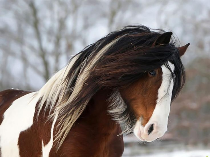.Beards, Beautiful Horses, Cowgirls, God, Ponies, Colors, Draft Hors, Gypsy Horse Horses, Animal