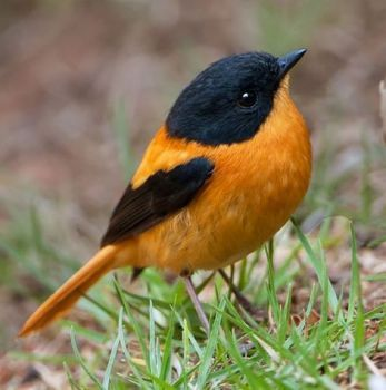 Black-and-orange Flycatcher (25 pieces)