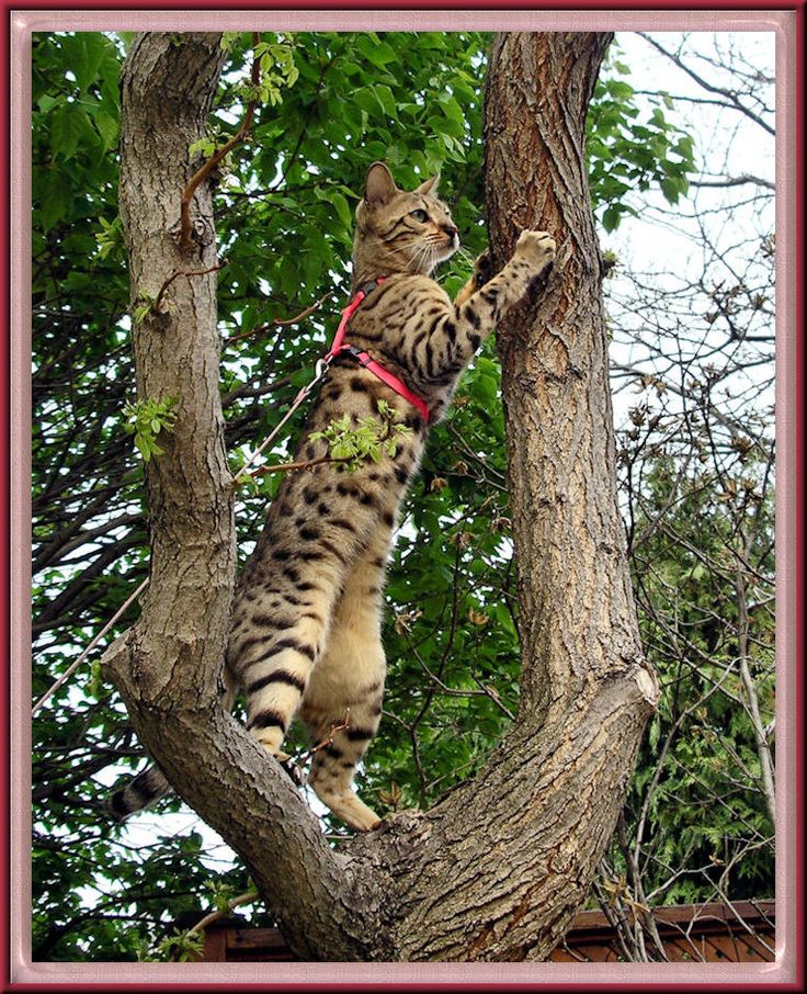 Bengal Cat In Tree on Leash :) (=Asian Leopard cat + domestic house cat)
