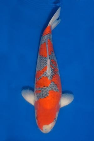 728 best koi images on pinterest koi ponds japanese koi for Goshiki koi fish for sale