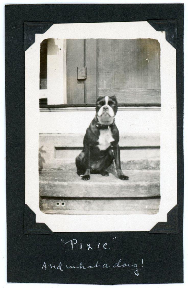 Boston terrier dog named pixie vintage snapshot photo ebay