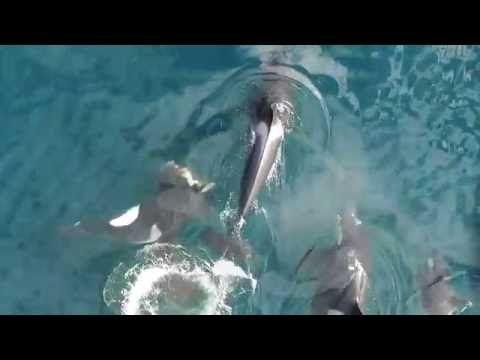 Факт о кооперации косаток во время охоты на тюленей | Нереально ИНФО