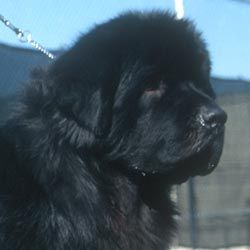 The OFA is working with the NCA Charitable Trust to complete a Newfoundland Dog Health Survey- take it today!