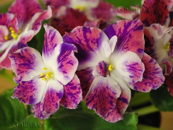 African Violet RM Pavlina NEW 2014 Plug Plant Russian Variety HIT | eBay
