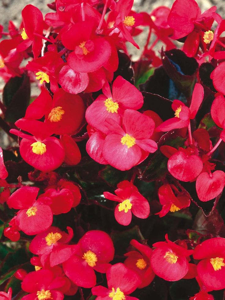 how to grow bedding begonias from seed