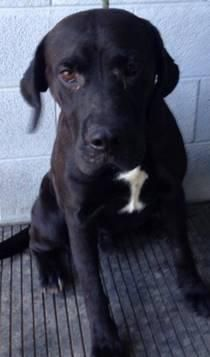 URGENT- DOMINO is IN PACKED KILL SHELTER-WV Black Labrador Retriever Mix • Adult • Male • Large  About URGENT- DOMINO IN PACKED KILL SHELTER-WV CODE RED ISSUED AT SHELTER- NO SPACE LEFT DOGS IN DANGER-3810-Domino-lab mix-male-69.2lbs For The Love Of Dogs Downingtown, PA