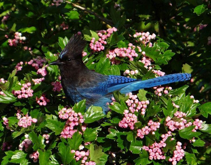 ... blooms! | Inspiring Beauty Of Birds | Pinterest | Jay, Photo contest