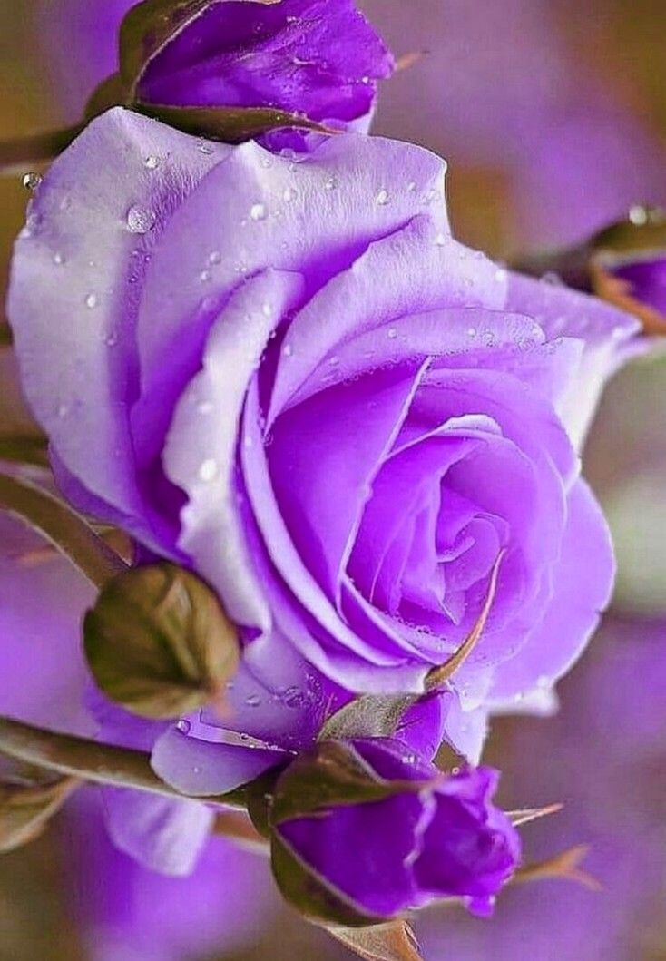Love Purple Beautiful Rose Flowers Purple Roses