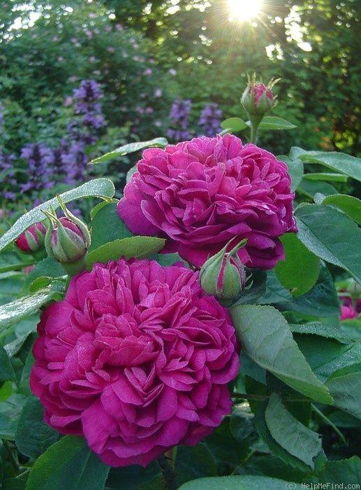 'Rose de Rescht' Bred pre 1900. Damask Portland. Strong damask fragrance.