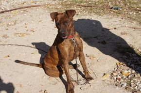 ★3•17•17 SL★- Kingwood, TX Bear is a brindle boy. The vet think s that he is a boston terrier/whippet cross. His estimated birth date is around July 2010. He is good w...