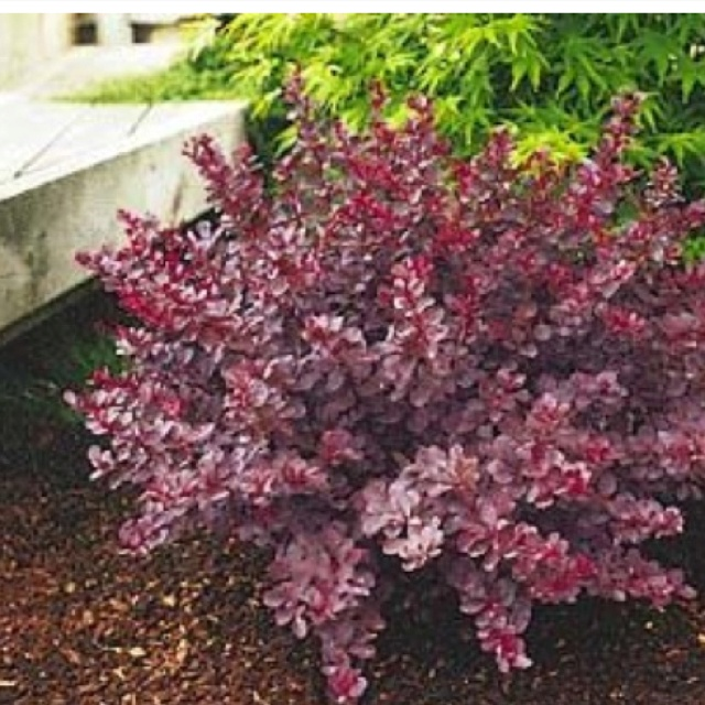 Shrubs For The Front Under Our Bedroom Window Outdoor Ideas Pinterest Garden And