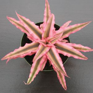 Cryptanthus 'Pink Starlight' (Cryptanthus bivittatus)