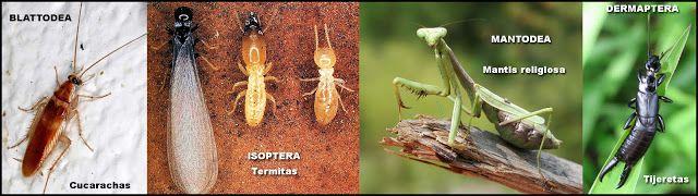 Naturarchives. Biodiversity. Instituto Bidebieta. Cucarachas, termitas, mantis y tijeretas.