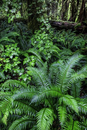 Ferns in Hoh Rainforest - Washington State. Been there, this is an amazing place!