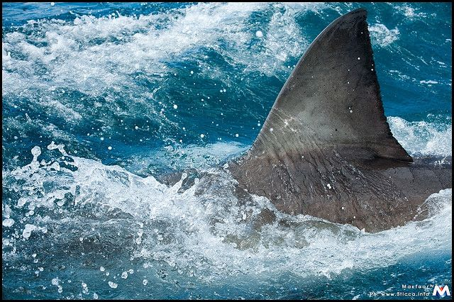 Amazing Great White Shark Facts - Biology101.org
