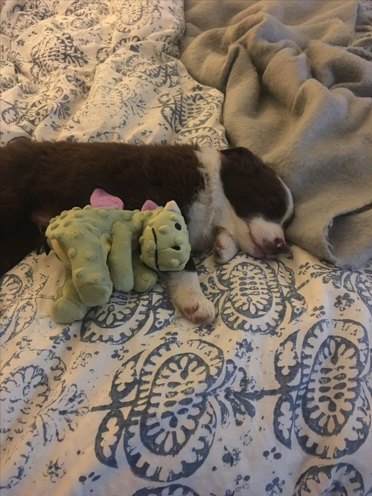 Roux, red and white Border Collie pup