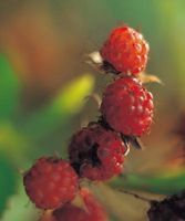 How to Identify Disease in My Raspberry Plants