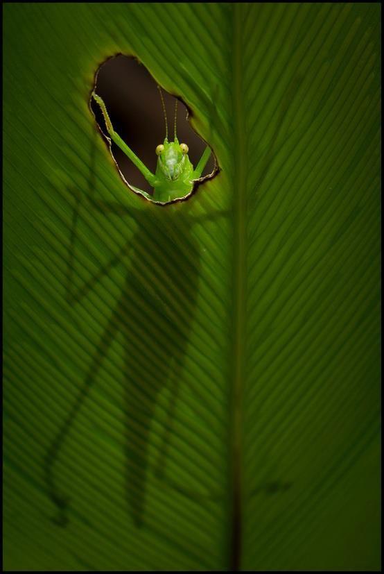 Green grasshopper made a window