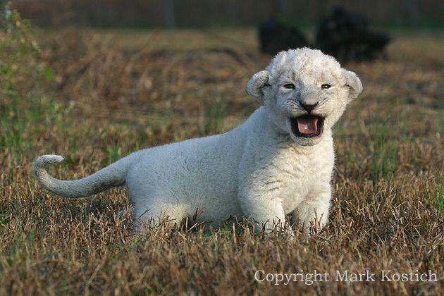 animated picturesof lions | ooooooo baby lion cub! so cute ...