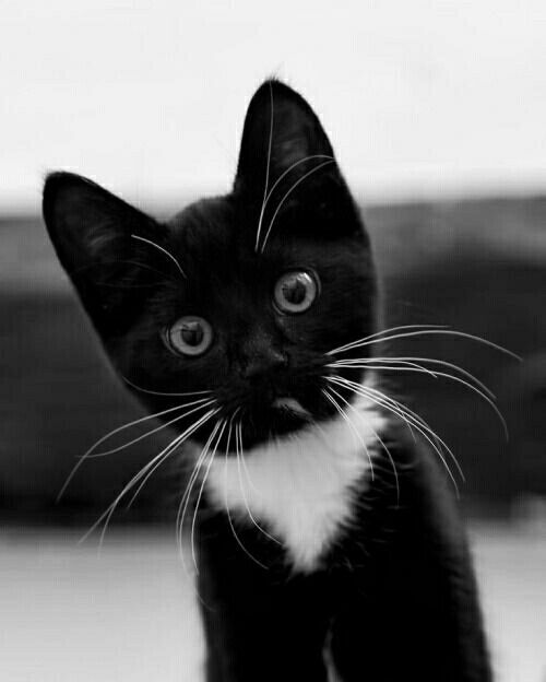 3226 Best Images About Cats Photos Black And White On